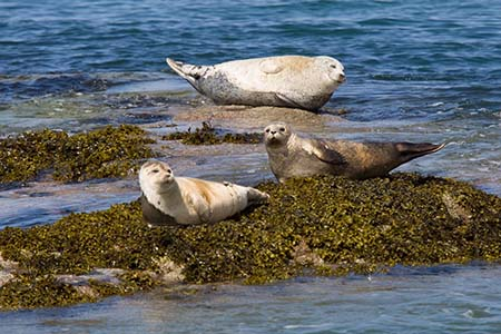 Seals basking on rocks, seen on a visit to Staffa